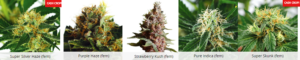 Popular Marijuana Seeds