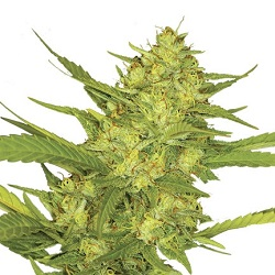 Sour Diesel Marijuana Seeds