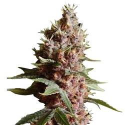 Strawberry Kush Marijuana Seeds
