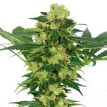 White Widow Marijuana Seeds Shipped To The USA