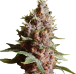 Strawberry Kush Marijuana Seeds Shipped To The USA