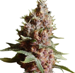 Buy Strawberry Kush Seeds