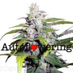 Lowryder Auto Flowering Feminized Marijuana Seeds