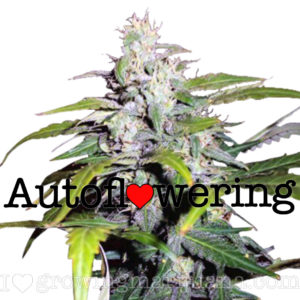 Lowryder Autoflower Seeds