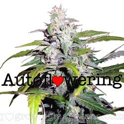Lowryder Marijuana Strain