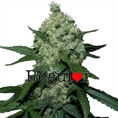Super Skunk Regular Cannabis Seeds