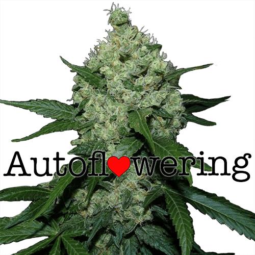 Super Skunk Autoflower Seeds