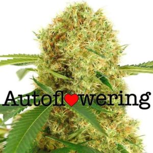 White Widow Autoflower Seeds