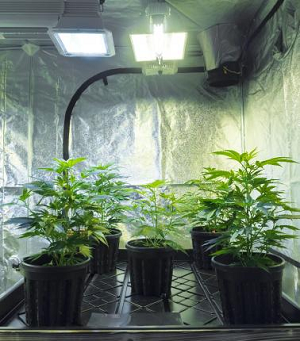 Growing Marijuana Seeds Indoors Lighting Equipment