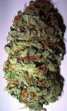 Buy California Dream Seeds