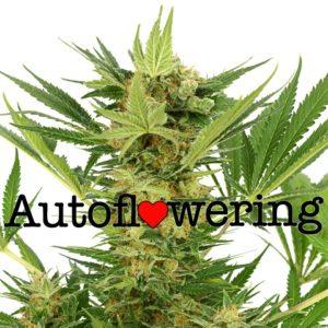 AK 47 Autoflower Seeds