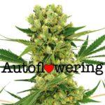 Amnesia Haze Auto Flowering Feminized Marijuana Seeds.