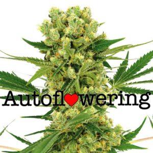 Amnesia Haze Autoflower Seeds.