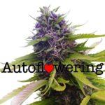 Blueberry Auto Flowering Feminized Marijuana Seeds