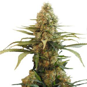 Chronic Widow Marijuana Seeds