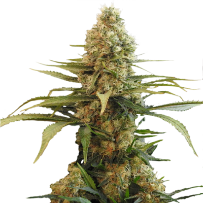 Chronic Widow Marijuana Seeds