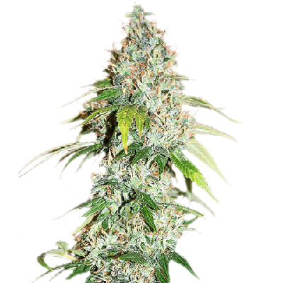 Buy OG Kush Seeds