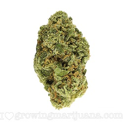 Cheese Marijuana Strain