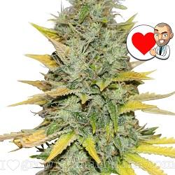 Gold Leaf Marijuana Strain