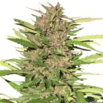 Pure Indica Seeds