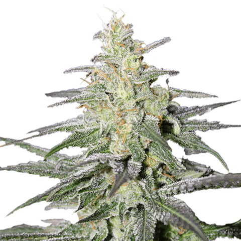 Buy Super Silver Haze Seeds