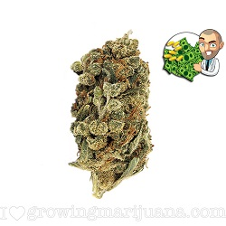 Super Skunk Marijuana Strain