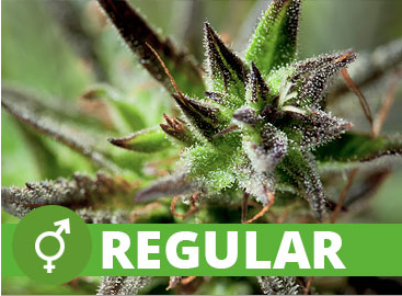 Regular Cannabis Seeds