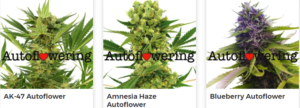 Buy Autoflowering Marijuana Seeds