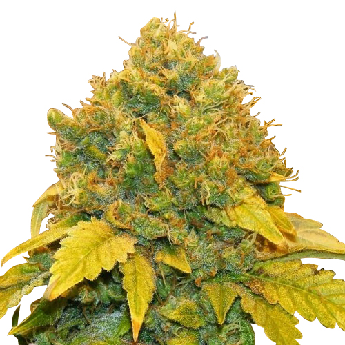 Buy Banana kush Seeds