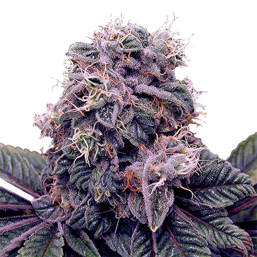 Buy Blackberry kush Seeds