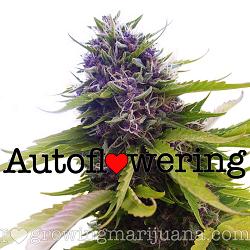 Buy Blueberry Autoflower Seeds