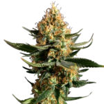 Buy Chemdawg Seeds