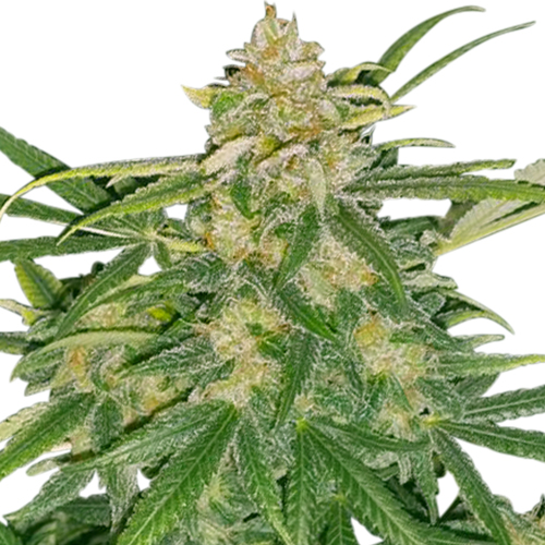 Buy Critical Mass Seeds