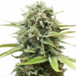 Buy Fire OG Seeds