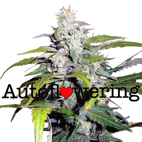 Buy Lowryder Autoflower Seeds