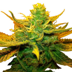 Buy Mango Kush Seeds
