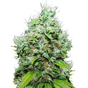 Buy NYC Diesel Seeds