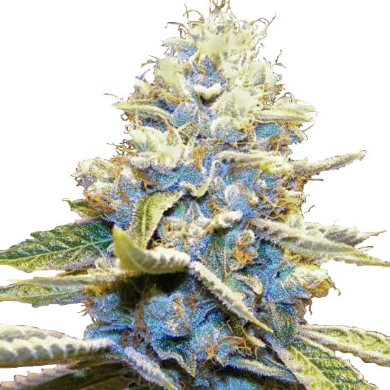 Buy Skywalker OG Seeds
