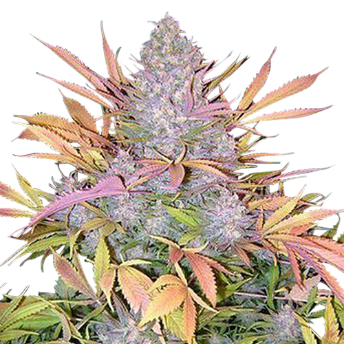Buy Strawberry Cough Seeds