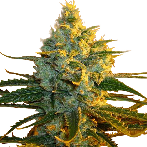 Buy Super Lemon Haze Seeds