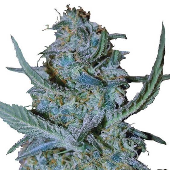Buy Blue Cheese Seeds