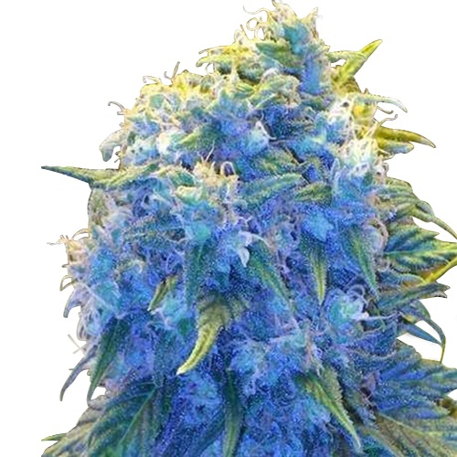 Buy Blue Haze Seeds