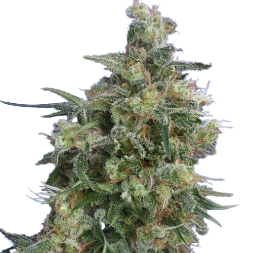 Buy Bubba Kush Seeds