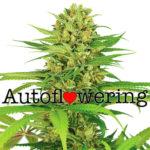 Buy Bubblegum Autoflower Seeds