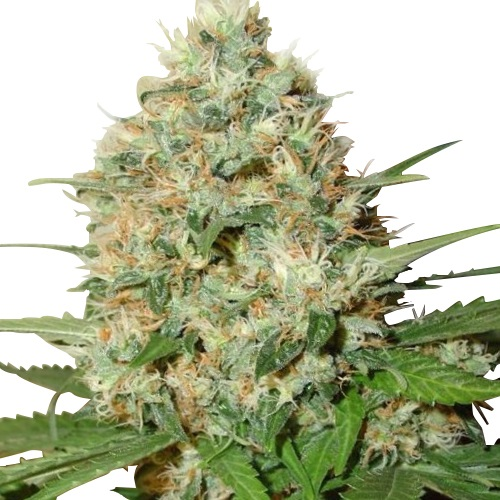 Buy Candy kush Seeds