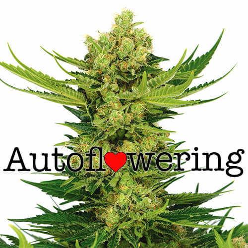 Buy Cheese Autoflower Seeds