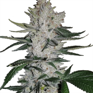 Buy Gorilla Glue Seeds