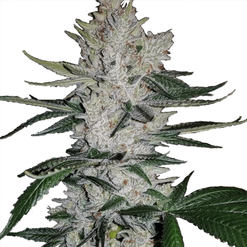 Gorilla Glue Seeds