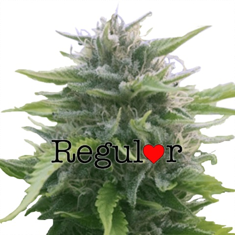 Buy Harlequin Regular Seeds