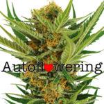 Buy Jack Herer Autoflower Seeds